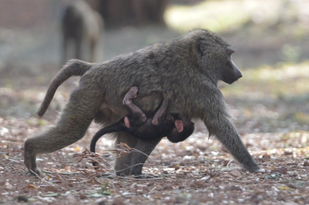 Olive Baboon with baby