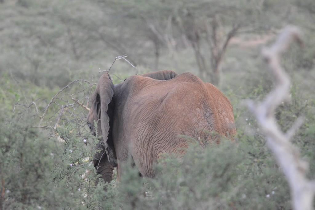 Shy elephant - our first elephant!