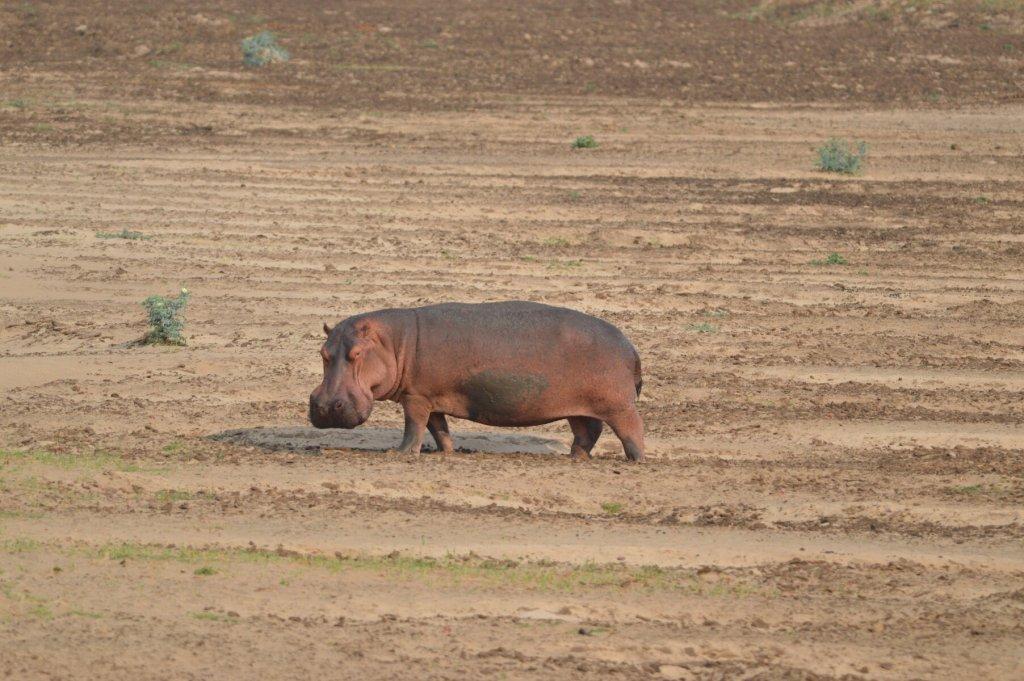 Hippo or Moomin?