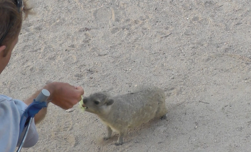 Jonathan feeding the hyrax a piece of cabbage
