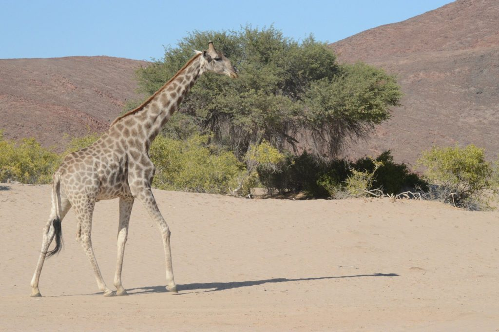 Riverbed Giraffe