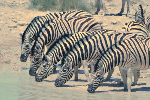 Zebra Drink
