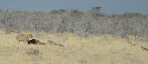 Lions / Jackal