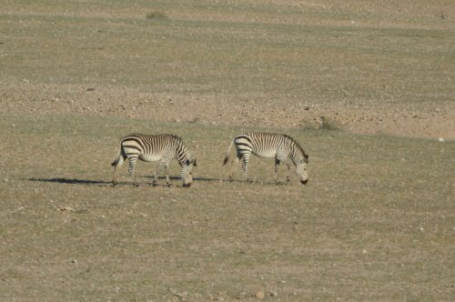 Namib Naukluft Zebra