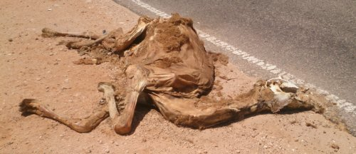 Camels and trucks dont mix well.