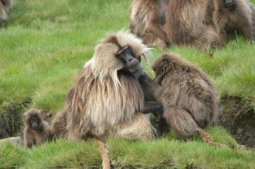 Gelada Baboons in the Simian Mountains