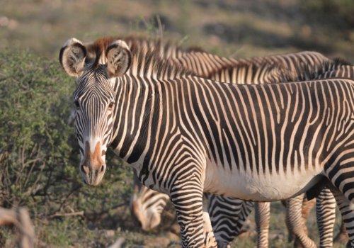 Zebra in Samburu National Park, Kenya.