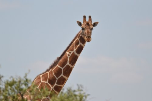 A Reticulated Giraffe...one of the most threatened species we met.