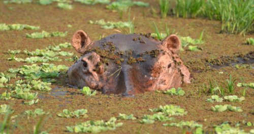 Hippo at Wildlife Camp, South Luangwa NP