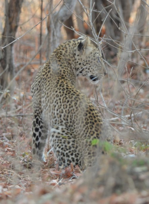 Young Leopard, South Luangwa NP