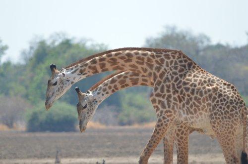 Droopy Giraffes
