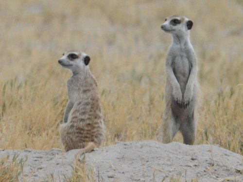 Meerkats in the Makgadikadi Pans