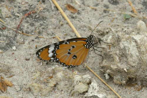 Another pretty butterfly, Botswana