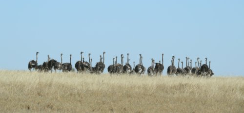 Ostrich gang in the pans.