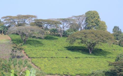 Tea and bananas in Tanzania, near lake Malawi
