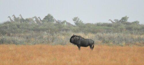 Wildebeest and Giraffe