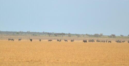 Oryx in Phokoje Pan