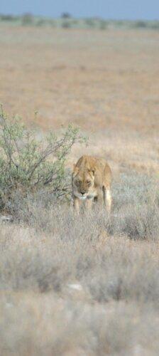Phokoje Pan Lioness
